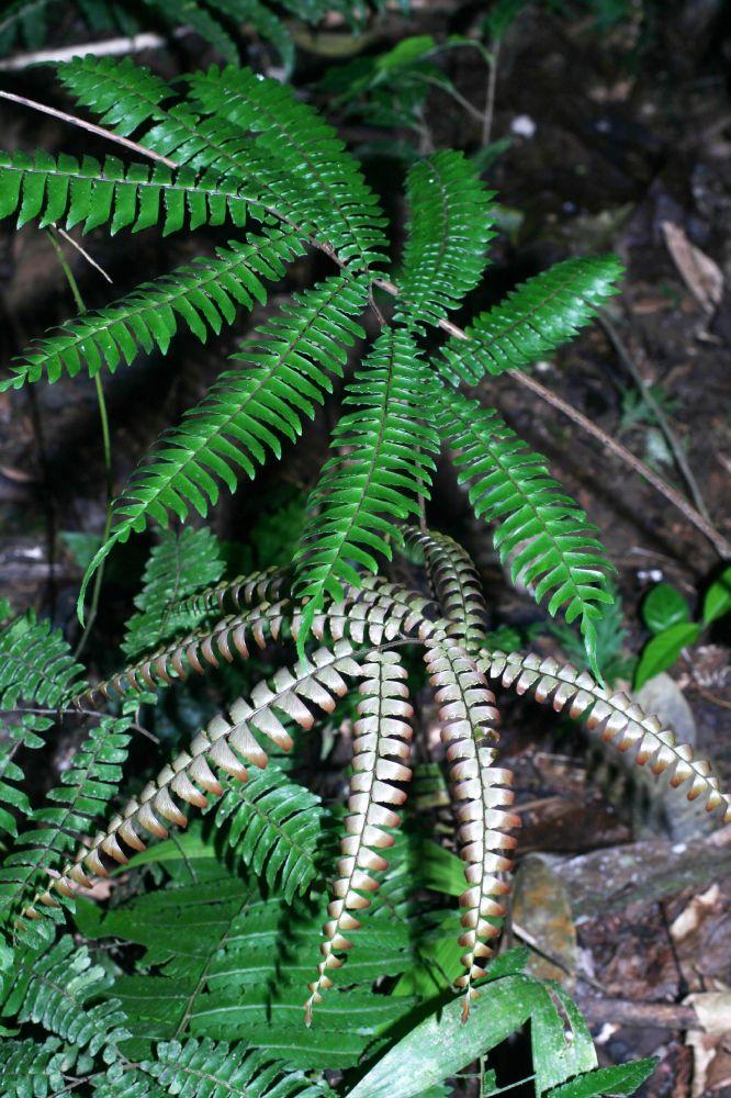 Адиант четырёхлопастный (лат. Adiantum tetraphyllum)