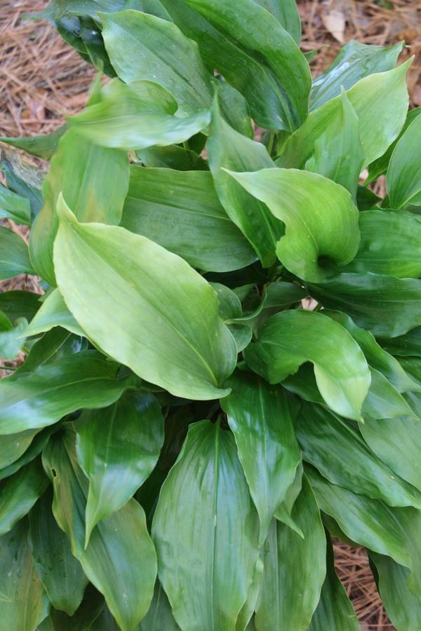 Аспидистра гуаньджоуская (Aspidistra guangxiensis)