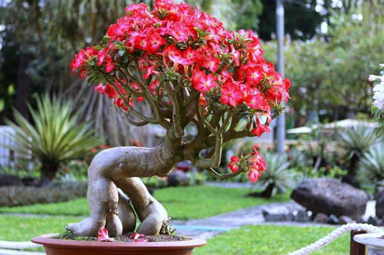 Адениум Импальская Лилия