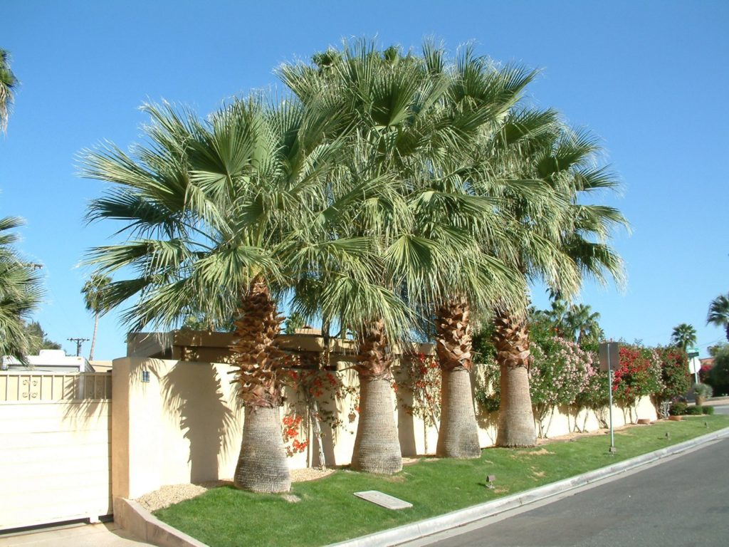 Вашингтония нитеносная (лат. Washingtonia filifera)