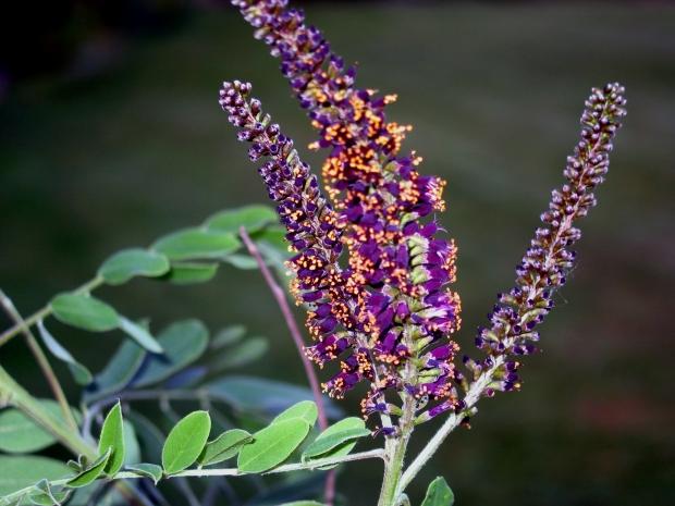 Аморфа цветок