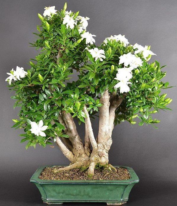 Гардения жасминовидная (лат. Gardenia jasminoides)
