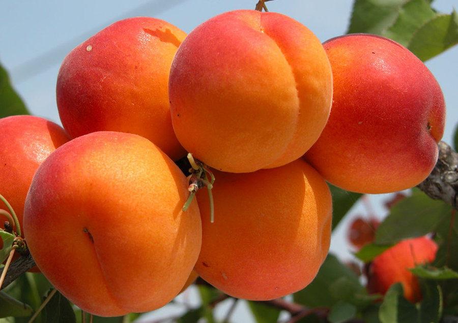 Абрикос плод